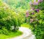 Sărbătoarea liliacului de la Ponoarele și parfumul iubirii